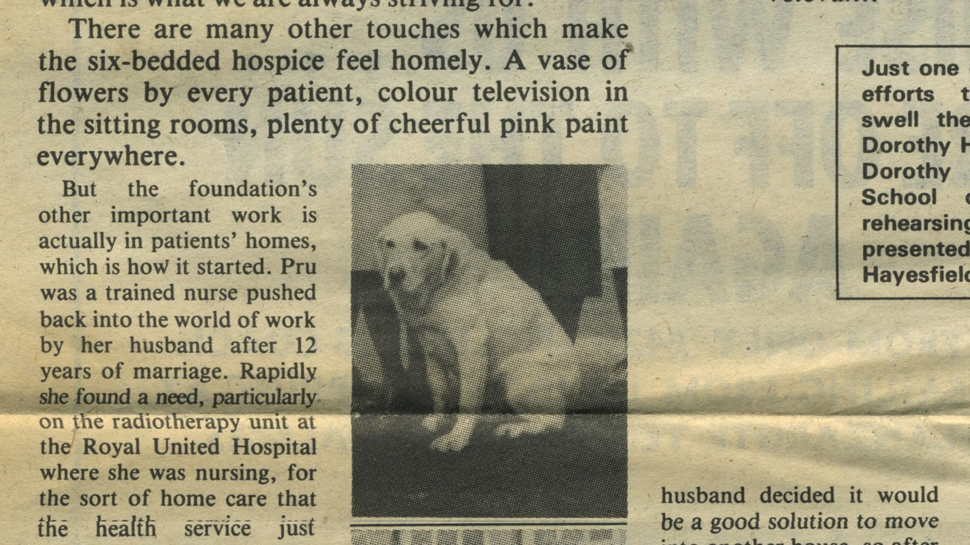 Old newspaper clipping featuring 'Patsy' the golden labrador