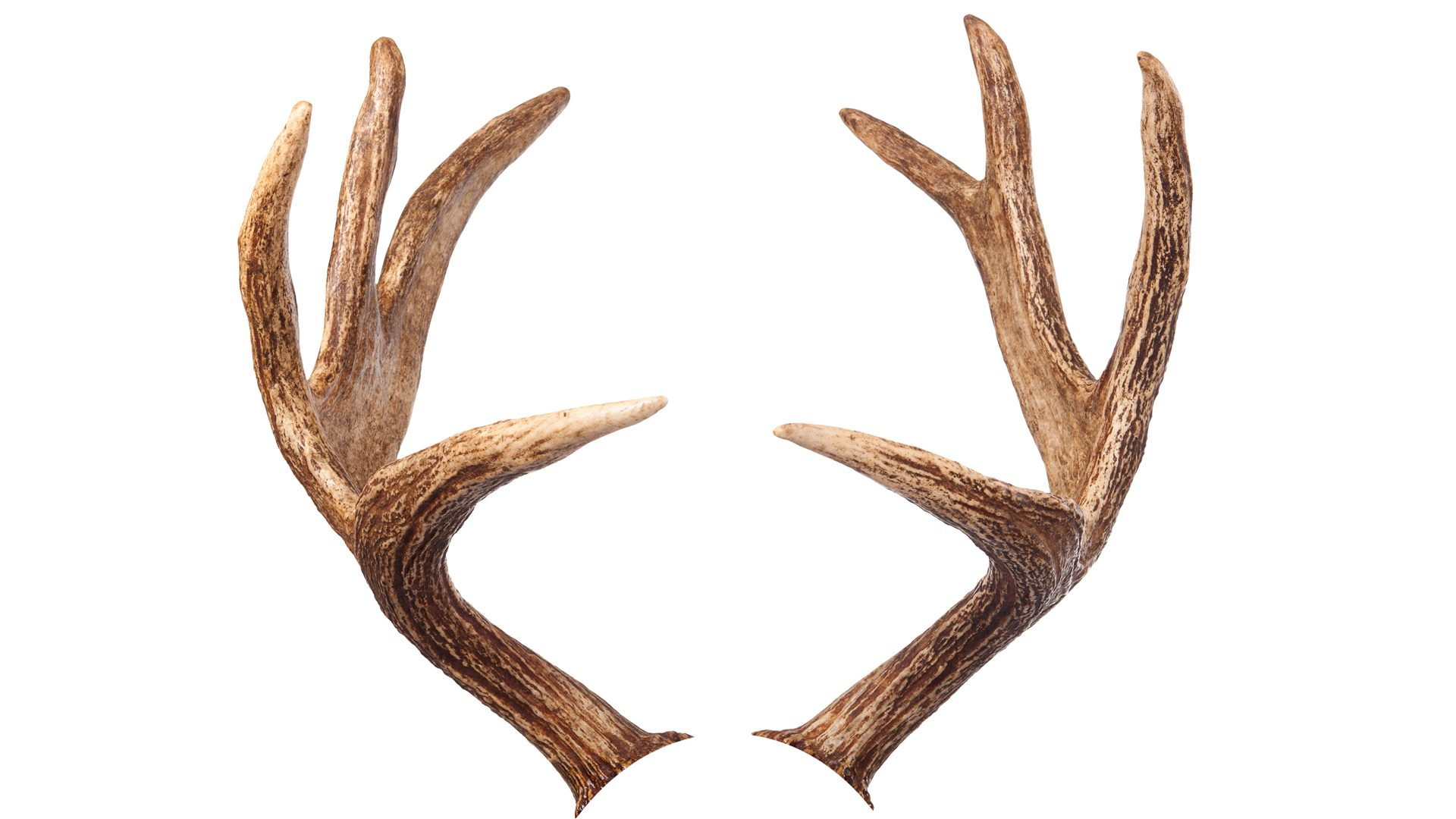 Photo of Deer Antlers