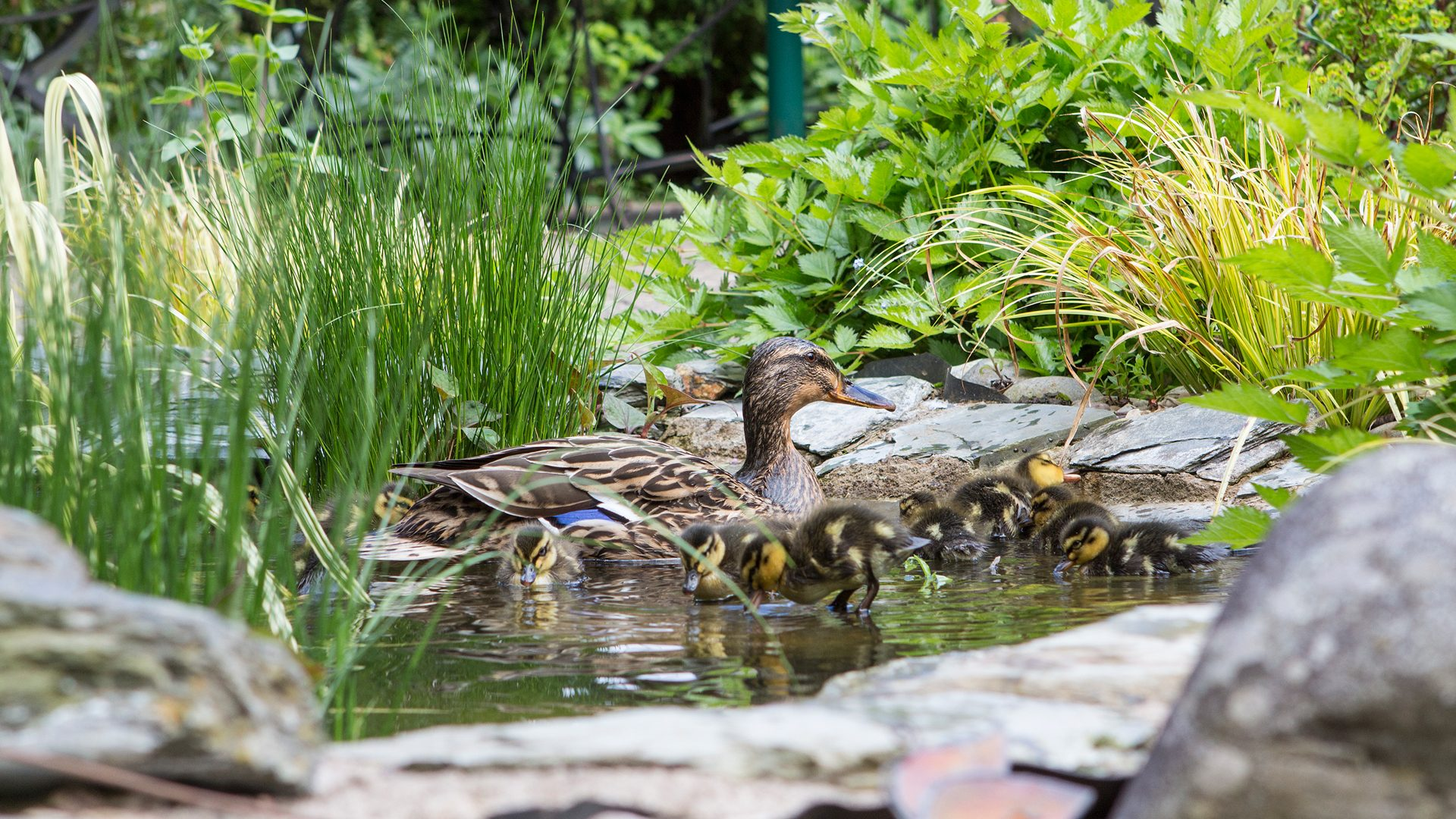 Duck and ducklings on pond at Winsley